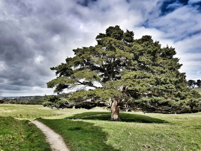 Totara Park landscape- tree
